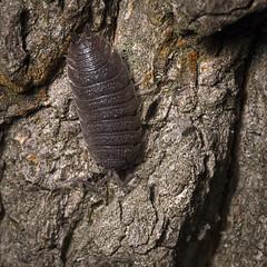 Common rough woodlouse