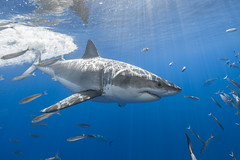 Image by George Probst (sharkpix) and image name Here's Johnny photo  about Male great white shark Johnny was identified at Guadalupe several years ago. Last week was the first time I had seen Johnny in over two years, so it was nice to see his toothy grin, once again.