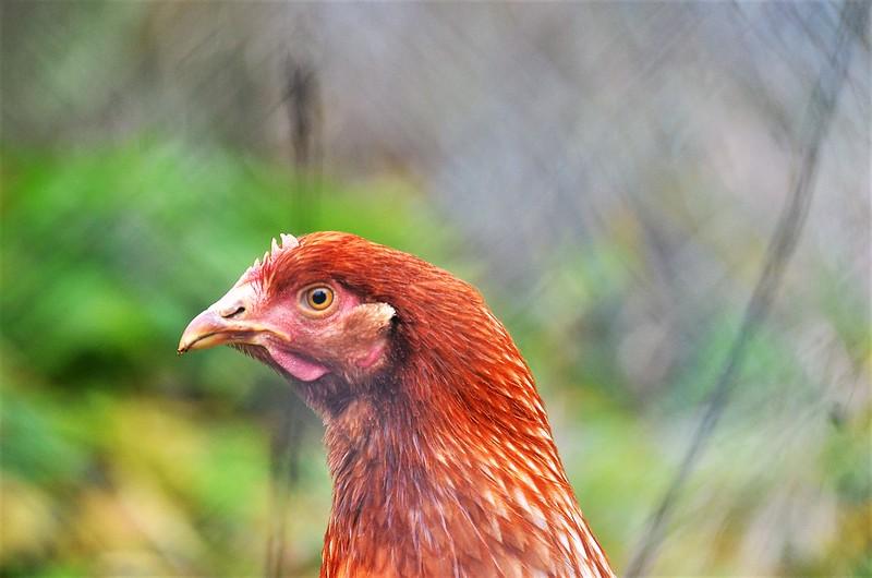 Chickens 08.11 (2)