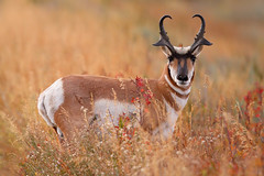 Alert Pronghorn, Grand Teton National Park