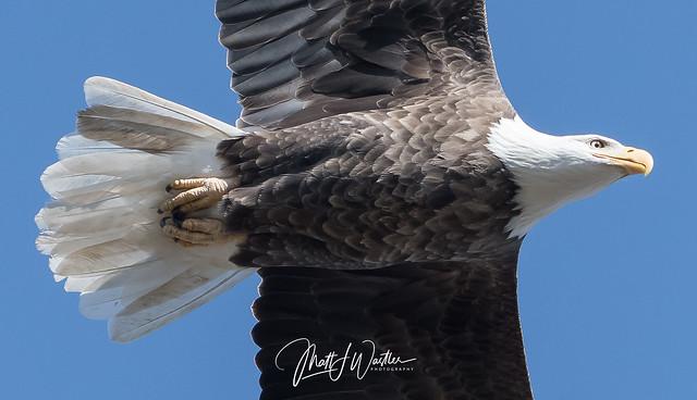 WAS_9059-2 Bald Eagle, Nikon D500, AF-S Nikkor 200-500mm f/5.6E ED VR