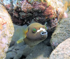 Poisson coffre et globe - Puffer and trunkfish