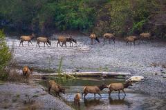 Elks in Redwood National Park, California