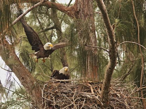 Bald Eagle 6238-20190125