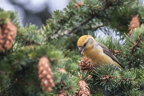Red Crossbill, female
