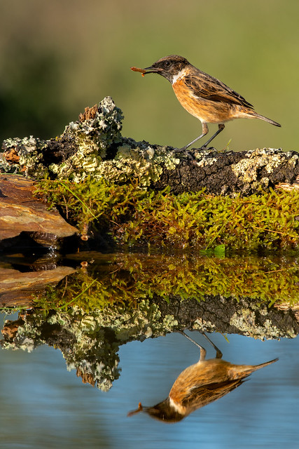 Male European Stonechat in (almost) Winter Colours - Saxicola rubicola