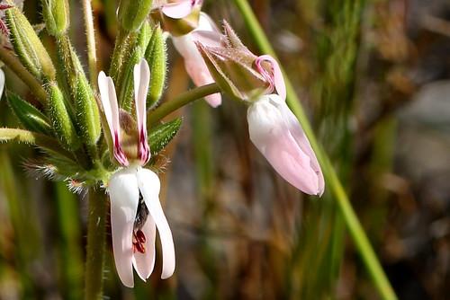 Pelargonium rapaceum, in habitat