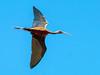 Glossy Ibis (Plegadis falcinellus) by David Cook Wildlife Photography