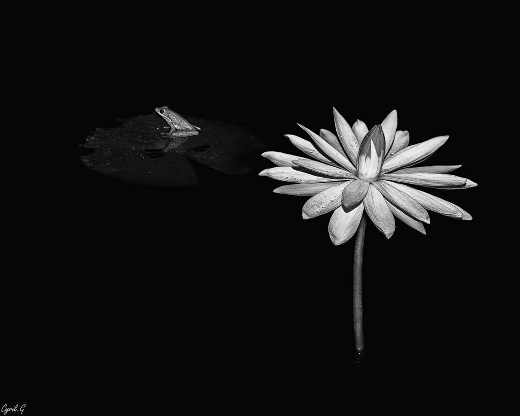 Le lotus et la grenouille + ajout 31935417777_220ae0e021_o