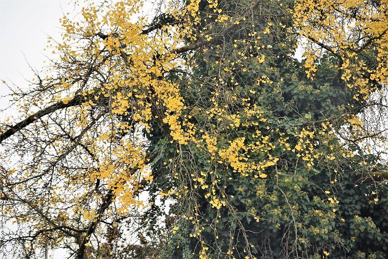 Autumn Tree 14.11.2018