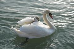 Cygne / Cygnes / Swan / Swans / Schwäne