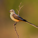 Scissor-tailed Flycatcher by Photosequence