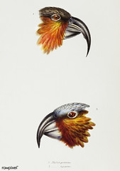 1. Norfolk kaka (Nestor productus) 2. Kaka parrot (Nestor Hypopolius) illustrated from A Synopsis of the Birds of Australia and the Adjacent Islands (1837) by John Gould (1804-1881).