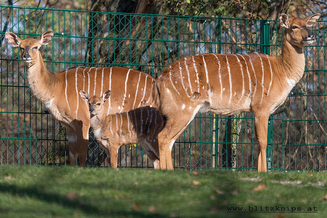 Nyala Zoo Linz