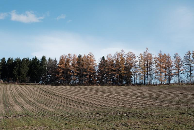 美瑛の畑と防風林