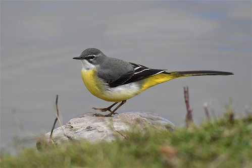 Grey wagtail3 | by only1malcolmfisher