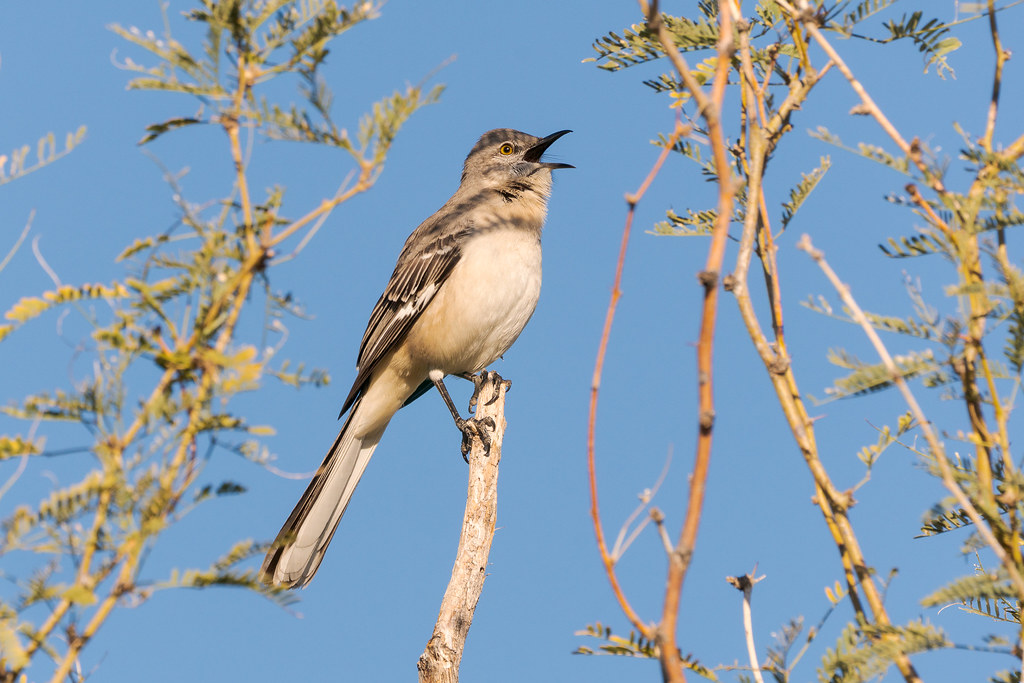 A northern mockingbird sings on a sunny winter morning along the Marcus Landslide Trail in McDowell Sonoran Preserve in Scottsdale, Arizona