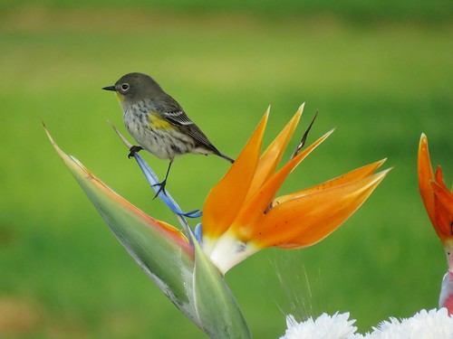 Yellow-rumped Warbler perched upon Bird of Paradise