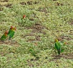 lillian's lovebirds2; s luangwa natl prk