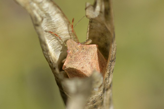 Stink Bug inside a seed capsule of Calochortus fimbriatus - still there!
