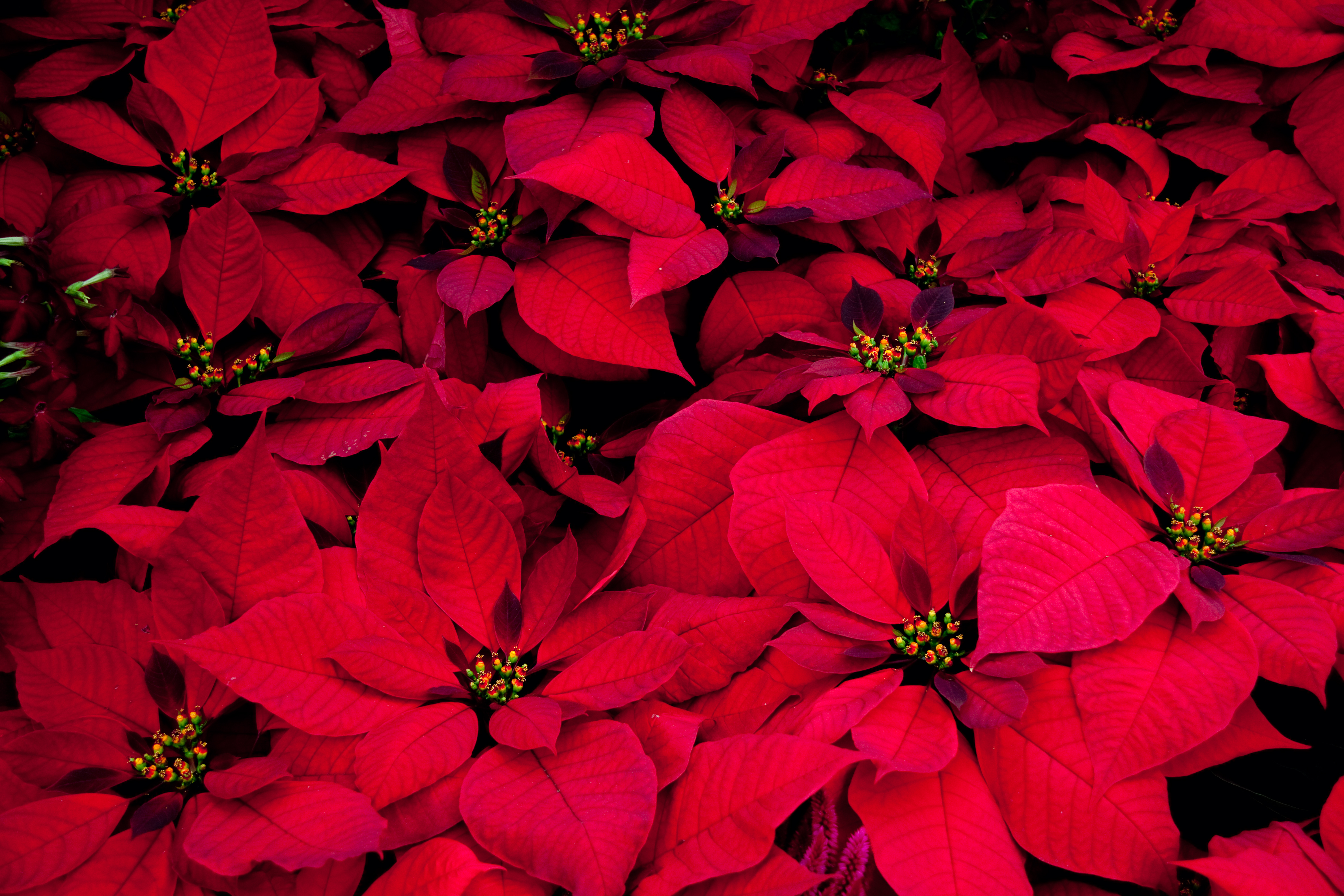 The noche buena (poinsettia) is native to Mexico and is widely used as a decoration during Christmas time.