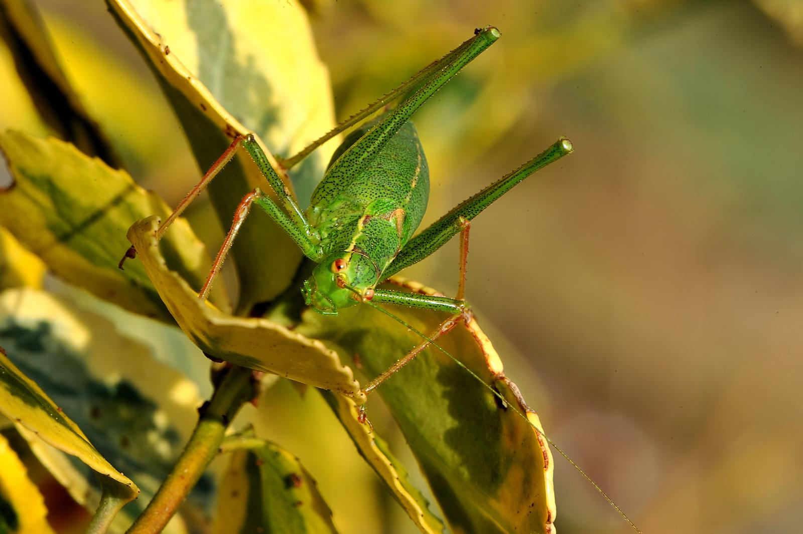[Leptophyes punctatissima] Est-ce Tettigonia viridissima ? 46368571612_035a412533_h