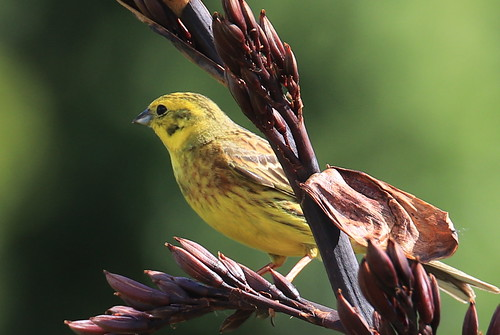 Yellowhamer
