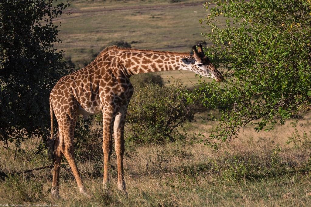 Girafe_septembrie 04_Maasai Mara_gradina