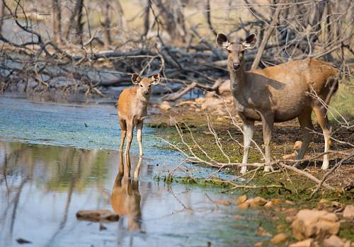 A sambar deer with her fawn