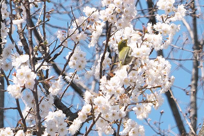荒川公園の梅