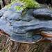 Hoof fungus, large