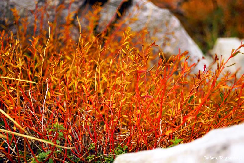 Трава красного цвета