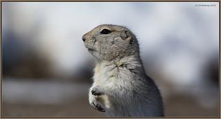 RichardsonGroundSquirrel_6D_6744