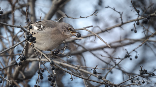 Moqueur polyglotte / Northern Mockingbird