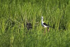 Black-winged Stilt(Himantopus himantopus ) in rice field