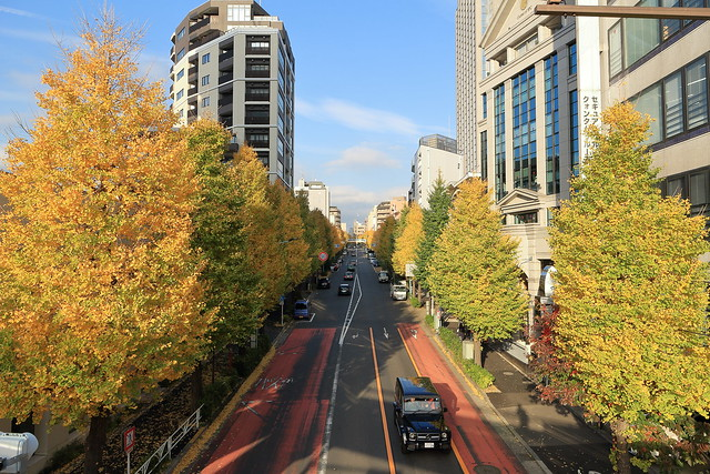 Roadside Ginkgo Trees
