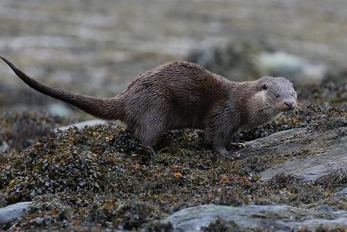 Eurasian Otter ( Lutra lutra )