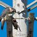 Peregrine Falcon - Falco peregrinus | 2018 - 28