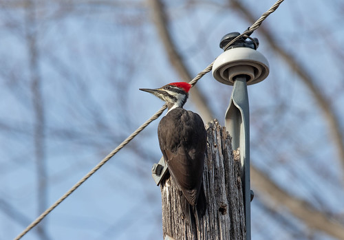 Alarmed female Pileated Woodpecker