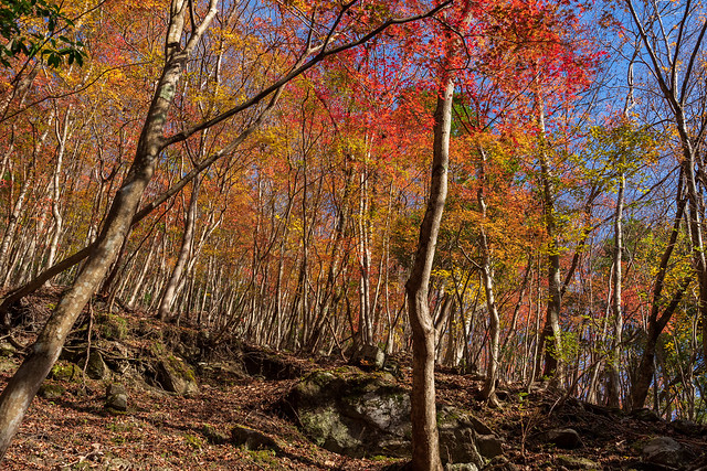 斜面を見上げる紅葉