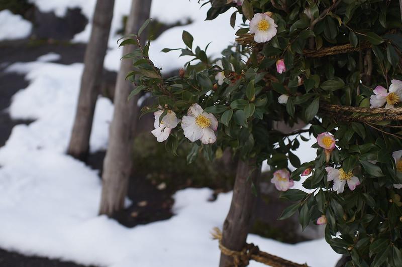 雪囲いされてもなお花を咲かせる_201812_NO2