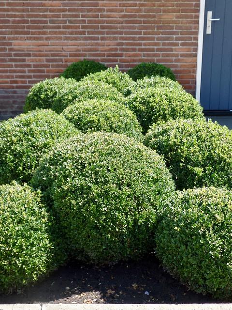 Buxus bollen boerderijtuin