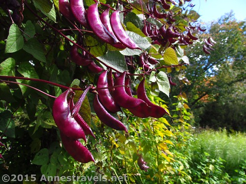 Bean Pods at Willowwood