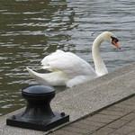 Friday, 15th, White swan IMG_4097