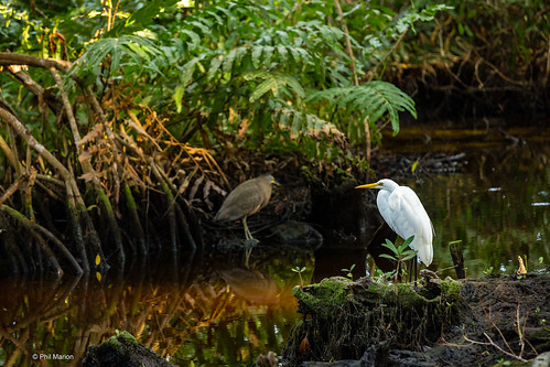 Egret and heron (in the shade) - Mangroves of Dzinitun near Celestun, Mexico | by Phil Marion