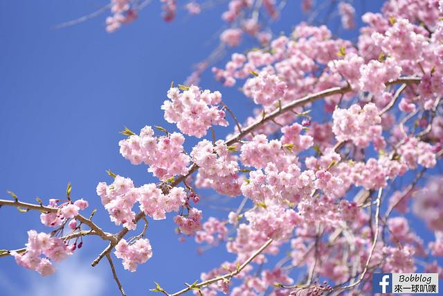 西湖療癒之鄉根場櫻花-10