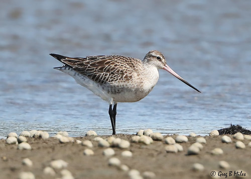 Female Bar-tailed Godwit (Limosa lapponica)
