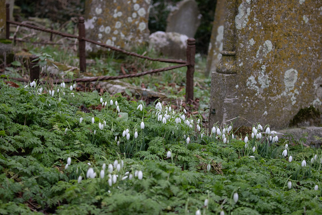 Snowdrops, Kingston Old Churchyard II