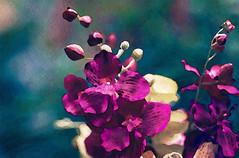 Fuchsia Pink Vanda Orchid