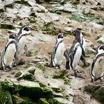 Pinguini Ballestas